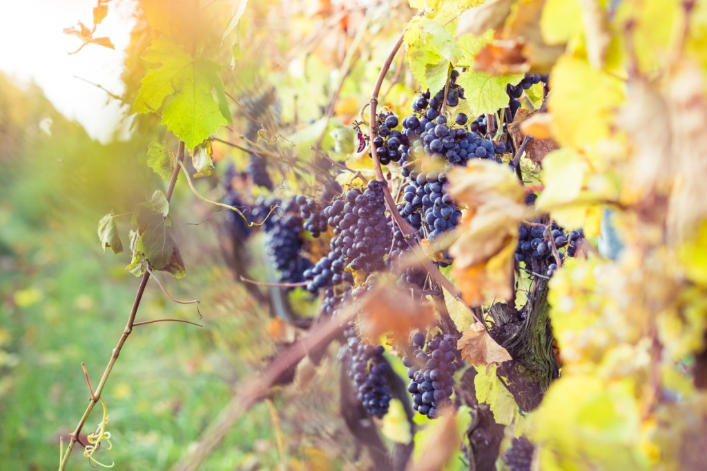'What's a Wine?' Part VI: Getting to Know Your Wine Grapes 2.0